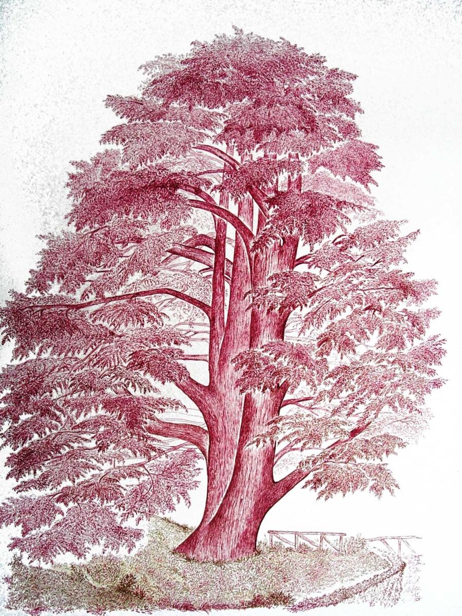 Cedro Rosso di M.G. Dallera