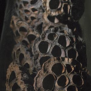 Fiore di loto (Nelumbo, famiglia Nelumbonaceae)