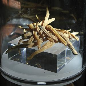Satavari (Asparagus racemasus, famiglia Asparagaceae)