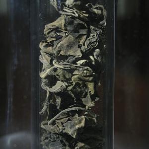 Adusa (Adhatoda vasica, famiglia Achantaceae)