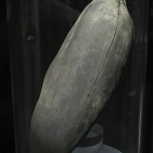 Frutto di Baobab (Adansonia digitata, famiglia Malvaceae)